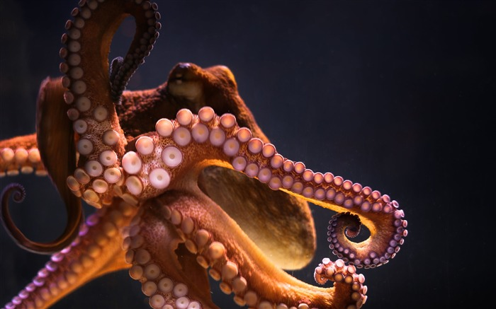Underwater octopus-2017 Animal Wallpaper Views:590