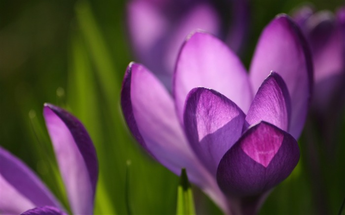 Violet crocus close up-2017 High Quality Wallpaper Views:365