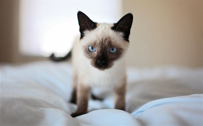 Adorable bed blue eyes Animal Wallpaper Views:929