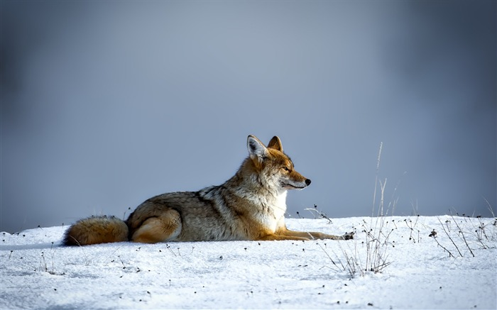Canine cold coyote Animal Wallpaper Views:1008