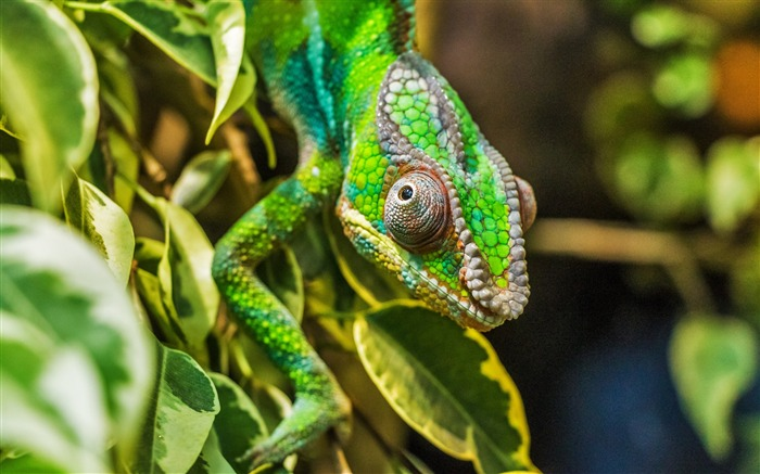 Chameleon lizard reptile Animal Wallpaper Views:1175
