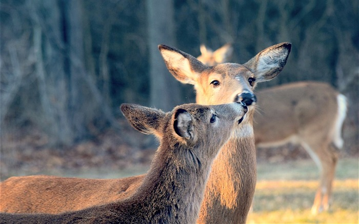 Cute Deer close up Animal Wallpaper Views:895