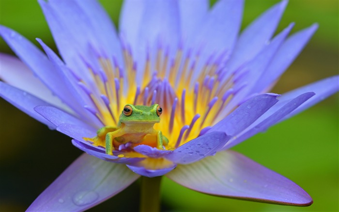 Frog lotus amphibian Animal Wallpaper Views:1029