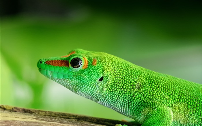 Lizard reptile green color Animal Wallpaper Views:1368