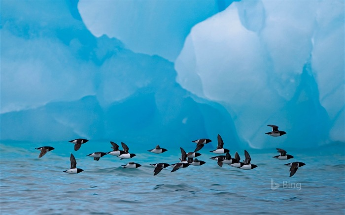Norway Little auks fly past an iceberg in Spitsbergen 2017 Bing Wallpaper Views:447