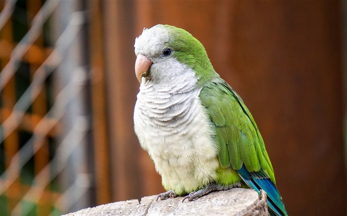 Parrot monk parakeet Animal Wallpaper Views:1097