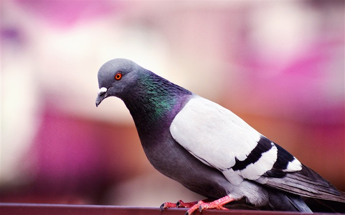 Pigeon wildlife wings Animal Wallpaper Views:1207