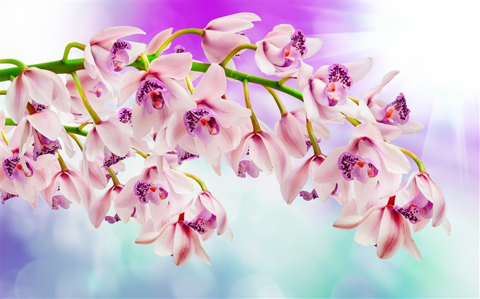 Pink orchids Photo HD Wallpaper Views:907