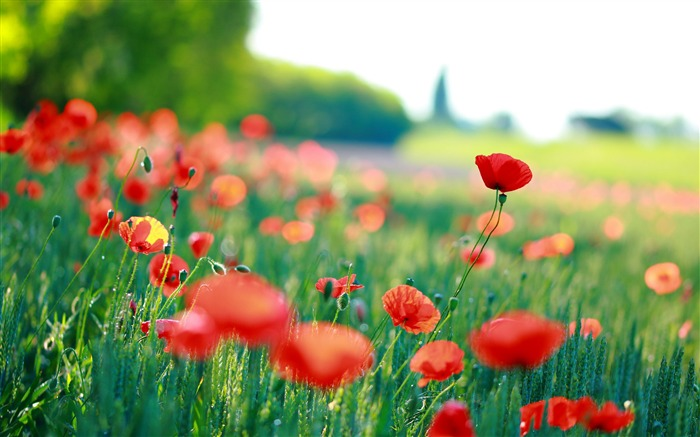 Red poppies Photo HD Wallpaper Views:786