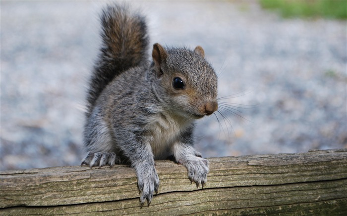 Squirrel rodent Animal Wallpaper Views:983