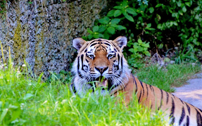 Tiger big cat predator Animal Wallpaper Views:725