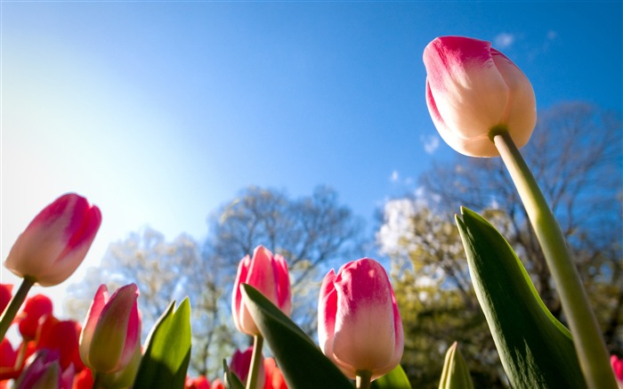 Tulips sunny day Photo HD Wallpaper Views:585