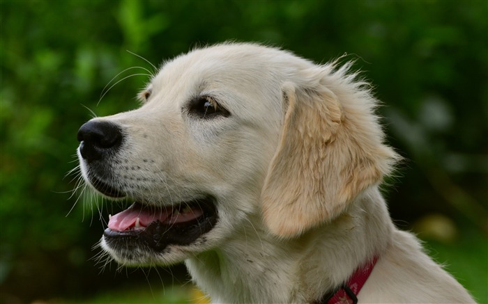 labrador puppy dog Animal Wallpaper Views:1152