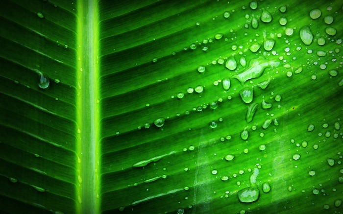Banana leaf dewdrop Nature HD Wallpaper Views:435