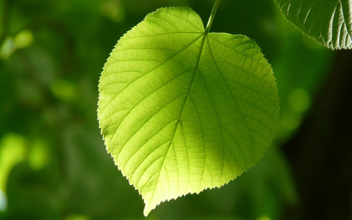 Green leaf sunshine Nature HD Wallpaper Views:593