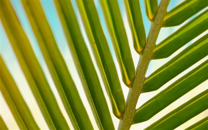Green palm leaves close-up Nature HD Wallpaper Views:809