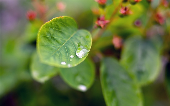 Spring raindrops leaf Nature HD Wallpaper Views:521