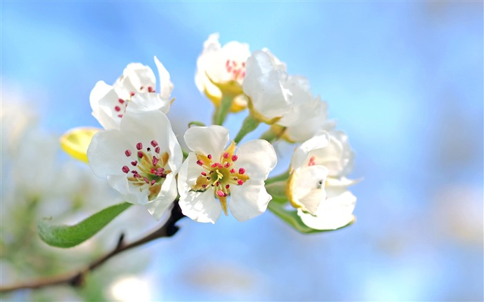 Spring white pear flowers petals 2017 4K HD Photo Views:162