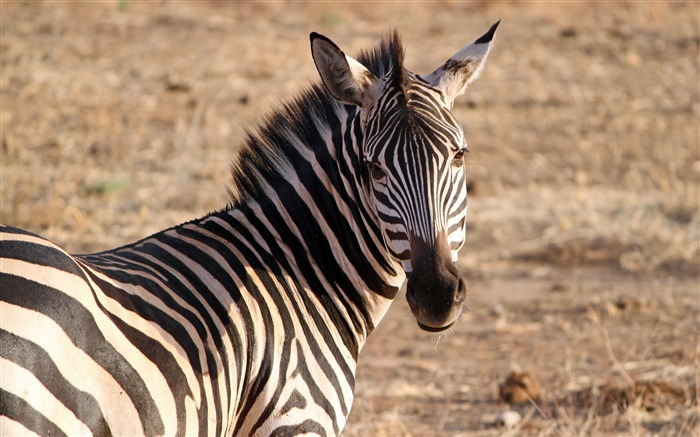 Africa Tanzania grassland wildlife zebra 4K HD Views:754