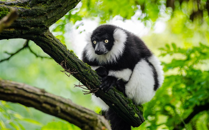 Spring Forest Tree Cute Lemur Views:666