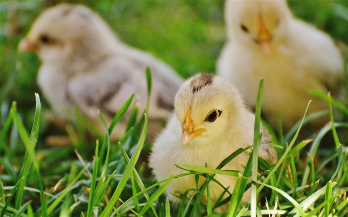Three lovely chicks grass Animal 4K Photo Views:517