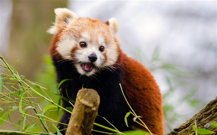 Nature tree cute red panda closeup Views:222