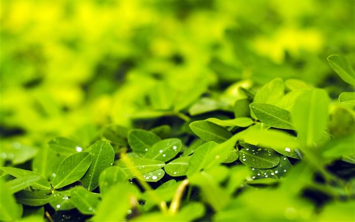 Spring fresh green leaves water droplets Views:333