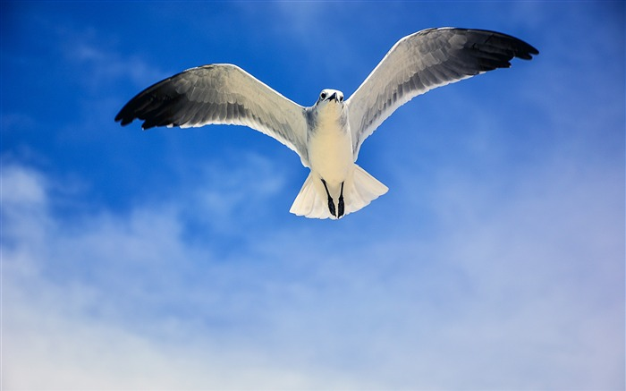 White seagull flying blue sky closeup Views:830