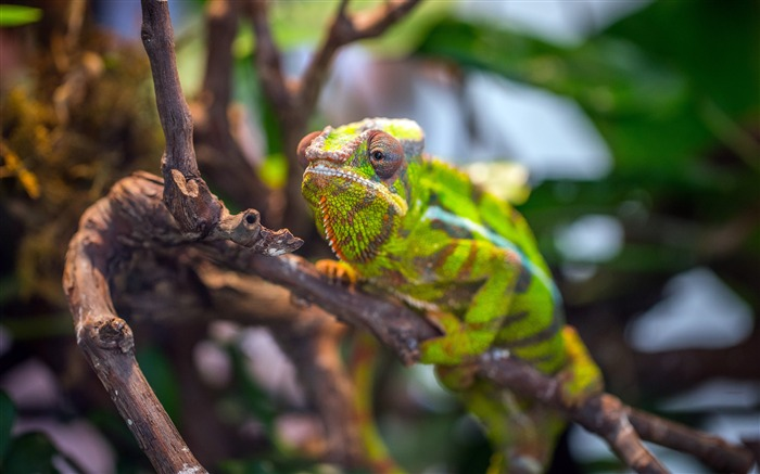 Animal camouflage chameleon closeup Views:4497 Date:3/24/2018 6:40:04 AM