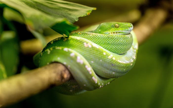 Jungle twig green snake close-up Views:4855 Date:3/24/2018 6:32:18 AM
