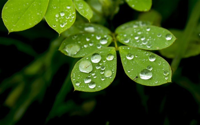 Spring rainy day green plants leaves water droplets Views:6214 Date:5/8/2018 9:05:00 AM