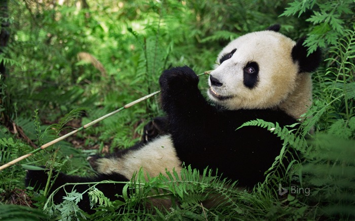 China Wolong Panda National Nature Reserve 2018 Bing Views:1836 Date:7/11/2018 8:48:52 AM