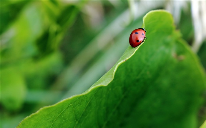 Green Leaves Plants Insect Ladybug Closeup Views:144