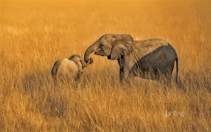 Kenya Amboseli National Park Elephants 2018 Bing Views:2228 Date:7/11/2018 8:15:23 AM