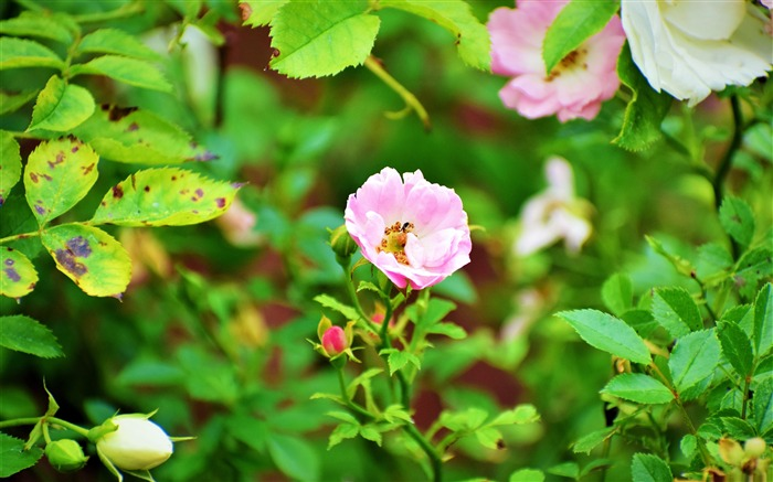 Pink rose flowers green leaves plant photo Views:154