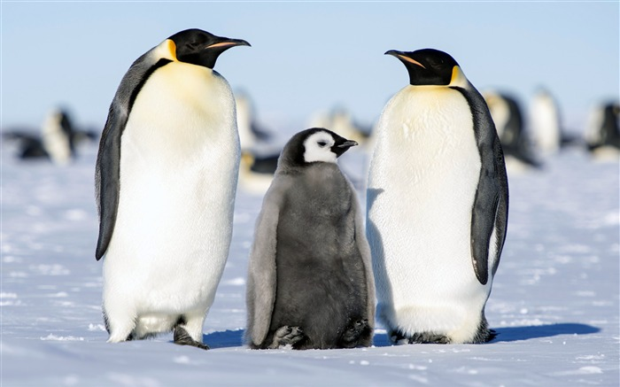 Summer Antarctic Penguin Animal HD Photo Views:2166 Date:8/6/2018 9:37:22 AM