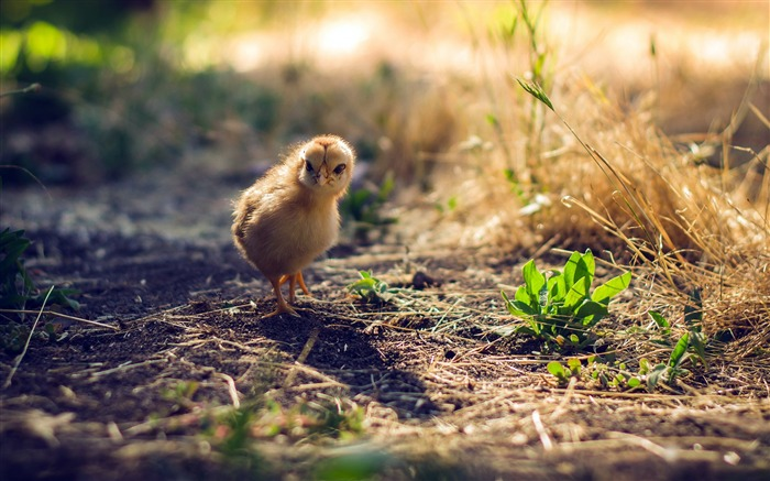 Cute chick meadow sunlight animal photography Views:1571 Date:12/31/2018 7:49:33 AM