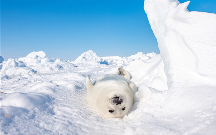 Antarctic continent Seal 2020 Animal HD Photography Views:3007 Date:6/7/2020 6:18:34 AM