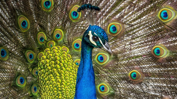 Blue Peafowl 2020 Animal HD Photography Views:1829 Date:6/7/2020 6:11:20 AM