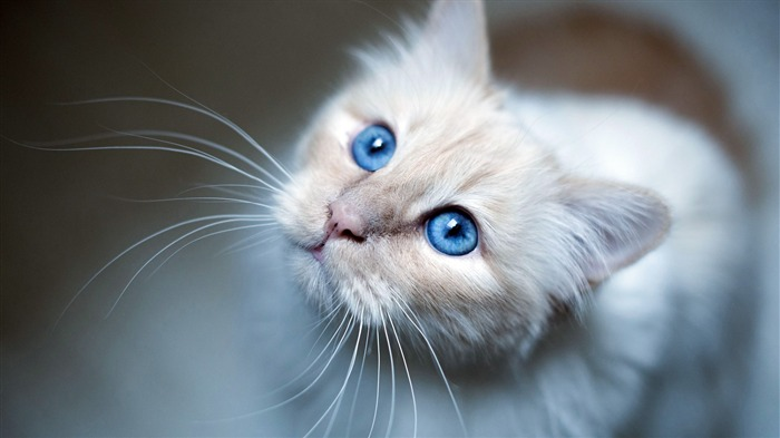 Burmese Cat Blue Eyes 2020 Animal HD Photography Views:2245 Date:6/7/2020 6:07:31 AM