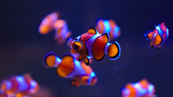 Clownfish in aquarium 2020 Animal HD Photography Views:3128 Date:6/7/2020 6:08:52 AM