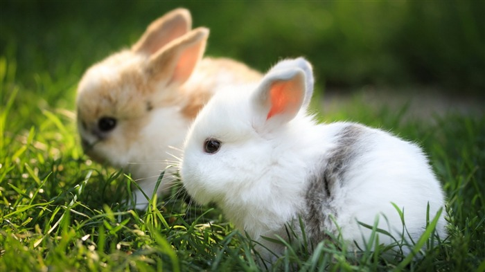 Cute White Rabbit 2020 Animal HD Photography Views:2498 Date:6/7/2020 6:09:58 AM