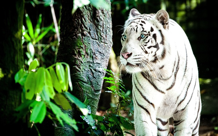 Forest White Tiger 2020 Animal HD Photography Views:1737 Date:6/7/2020 6:15:15 AM