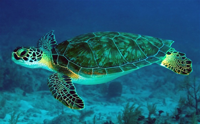 Great Barrier Reef Turtle 2020 Animal HD Photography Views:2144 Date:6/7/2020 6:03:54 AM