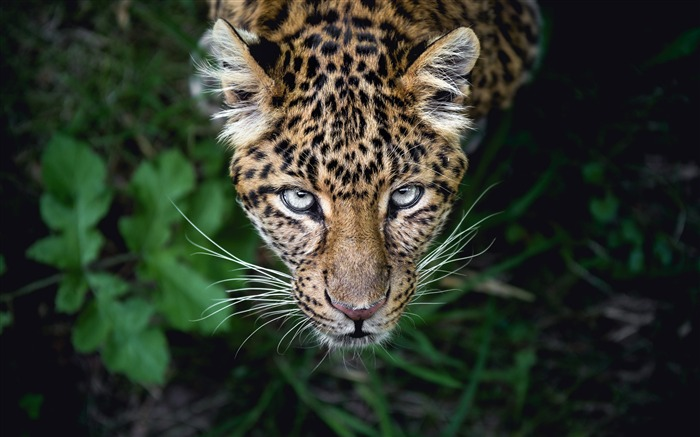 Leopard Hunting 2020 Animal HD Photography Views:1885 Date:6/7/2020 6:05:53 AM