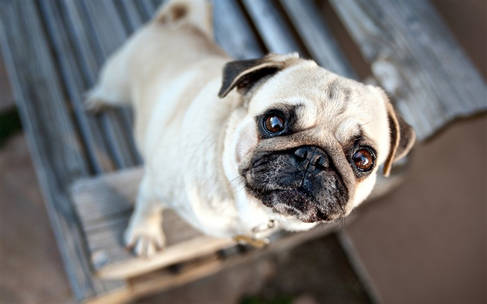 Pug Dog Pet 2020 Animal HD Photography Views:1678 Date:6/7/2020 6:02:35 AM