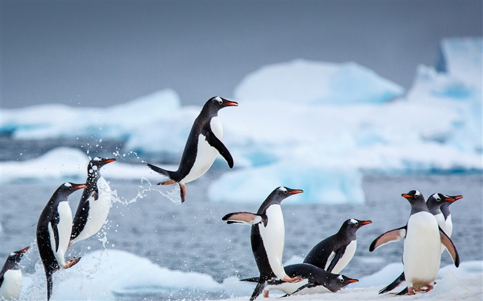 Gentoo penguins Danco Island 2021 Antarctica HD Photo Views:1213 Date:2/10/2021 7:35:22 PM